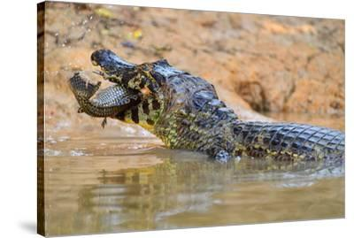 Cayman, Pantanal, Mato Grosso, Brazil, South America-Pablo Cersosimo-Stretched Canvas Print