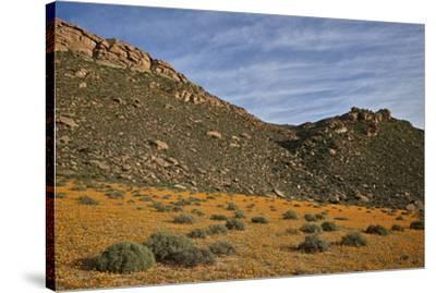 Field of Namaqualand daisy (Jakkalsblom) (Dimorphotheca sinuata), Namakwa, Namaqualand, South Afric-James Hager-Stretched Canvas Print