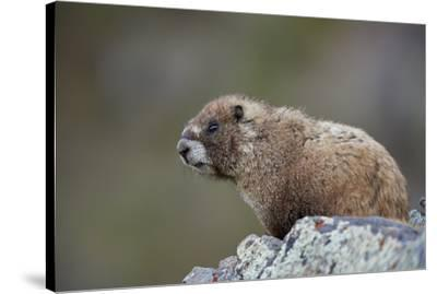 Yellow-bellied marmot (yellowbelly marmot) (Marmota flaviventris), San Juan National Forest, Colora-James Hager-Stretched Canvas Print