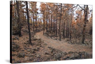 Burned Canary pine trees, La Palma Island, Canary Islands, Spain, Europe-Sergio Pitamitz-Stretched Canvas Print