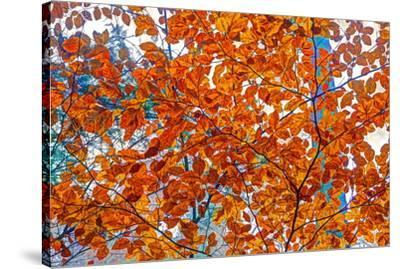 Autumnal forest, Kastel-Staadt, Rhineland-Palatinate (Rheinland-Pfalz), Germany, Europe-Hans-Peter Merten-Stretched Canvas Print