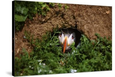 An Atlantic Puffin peers out from its burrow on Skomer Island, Wales, United Kingdom, Europe-David Rocaberti-Stretched Canvas Print