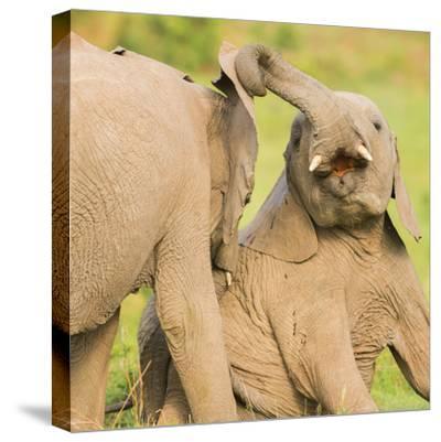 Elephant calves playing in the Masai Mara, Kenya, East Africa, Africa-Karen Deakin-Stretched Canvas Print