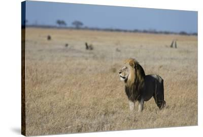 Lion (Panthera leo), Savuti, Chobe National Park, Botswana, Africa-Sergio Pitamitz-Stretched Canvas Print