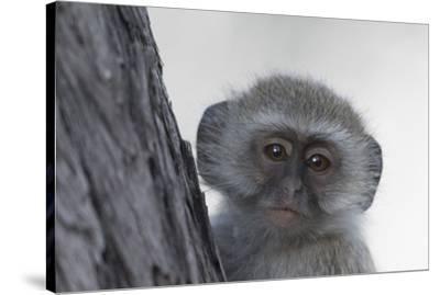 Vervet monkey (Chlorocebus pygerythrus), Moremi Game Reserve, Okavango Delta, Botswana, Africa-Sergio Pitamitz-Stretched Canvas Print