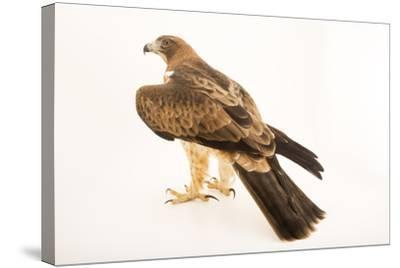 A booted eagle, Hieraaetus pennatus-Joel Sartore-Stretched Canvas Print