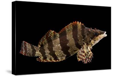 A female painted greenling, Oxylebius pictus, at Aquarium of the Pacific.-Joel Sartore-Stretched Canvas Print