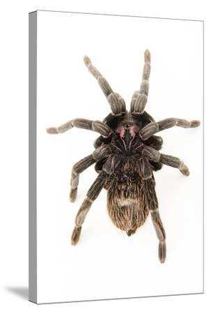 A female Colombian lesser black tarantula, Xenesthis immanis, at the Budapest Zoo.-Joel Sartore-Stretched Canvas Print