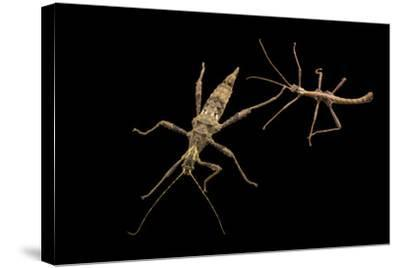 Trachyaretaon species at the Budapest Zoo.-Joel Sartore-Stretched Canvas Print