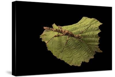 A thorny walking stick, Trachyaretaon brueckneri, at the Exmoor Zoo.-Joel Sartore-Stretched Canvas Print