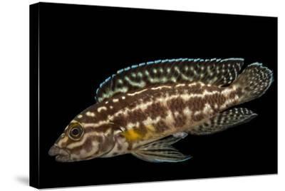 Marlieri cichlid, Julidochromis marlieri-Joel Sartore-Stretched Canvas Print