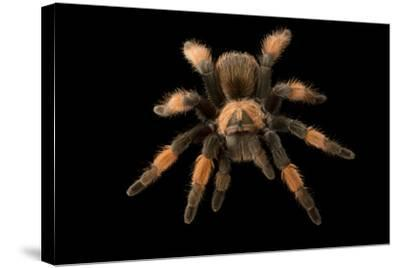 Mexican red-legged tarantula, Brachypelma emilia, at the Budapest Zoo.-Joel Sartore-Stretched Canvas Print