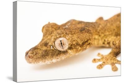 Guenther's leaf tail gecko, Uroplatus guentheri, from a private collection.-Joel Sartore-Stretched Canvas Print