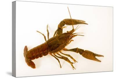 Deceitful crayfish, Procambarus fallax, collected at Beecher Springs Run-Joel Sartore-Stretched Canvas Print