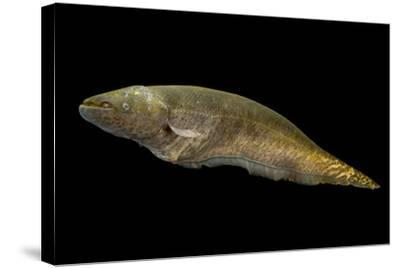 Banded knifefish, Gymnotus carapo, at L'aquarium tropical du palais de la Porte Doree-Joel Sartore-Stretched Canvas Print