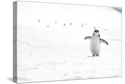 A Chinstrap Penguin Walks Towards a Nesting Site for the Breeding Season-Doug Gimesy-Stretched Canvas Print