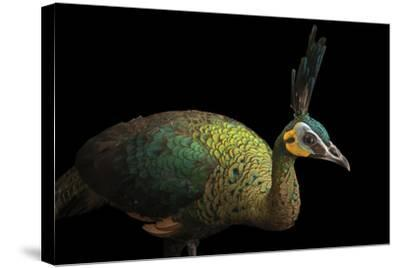 A Hen Indochinese Green Peafowl, Pavo Muticus Imperator-Joel Sartore-Stretched Canvas Print