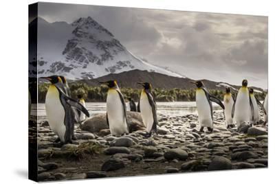 King Penguins Stroll Past an Elephant Seal, Mirounga Angustirostris-Doug Gimesy-Stretched Canvas Print