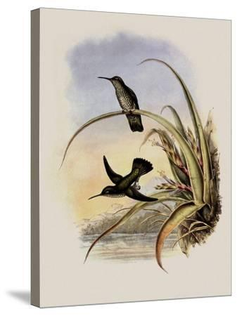Spotted-Breasted Hummingbird, Aphantochroa Hyposticta-John Gould-Stretched Canvas Print