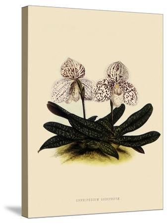 Cypripedium Godefroyae-John Nugent Fitch-Stretched Canvas Print
