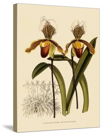Cypripedium Insigne Punctatum Violaceum-John Nugent Fitch-Stretched Canvas Print