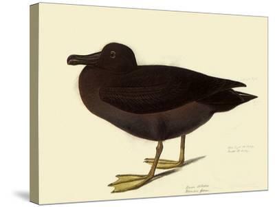 Sooty Albatross-John James Audubon-Stretched Canvas Print