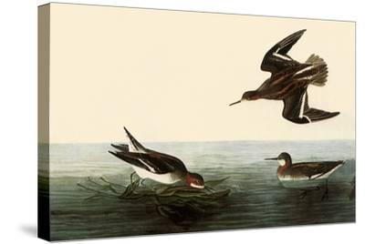 Northern Phalaropes-John James Audubon-Stretched Canvas Print