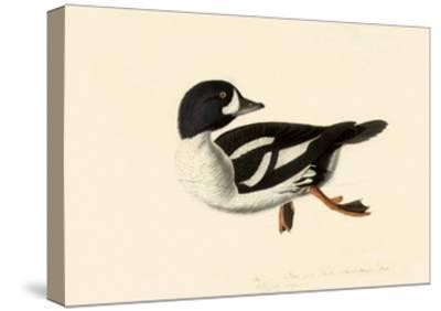 Goldeneye-John James Audubon-Stretched Canvas Print