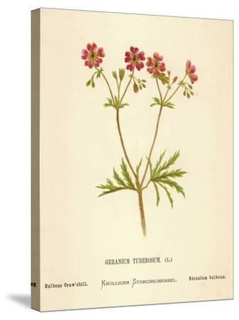 Geranium Tuberosum-Hulton Archive-Stretched Canvas Print