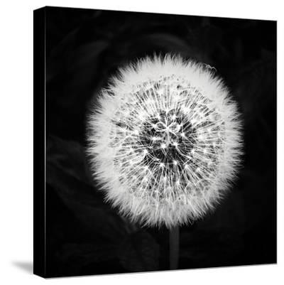 Dandelion-Mary Woodman-Stretched Canvas Print