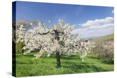 Fruit-Tree Blossom, Strumpfelbach, Baden Wurttemberg, Germany-Markus Lange-Stretched Canvas Print