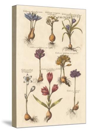 Vintage Florilegium I-Wild Apple Portfolio-Stretched Canvas Print