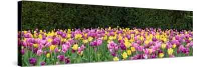 Tulip flowers in a garden, Chicago Botanic Garden, Glencoe, Cook County, Illinois, USA--Stretched Canvas Print