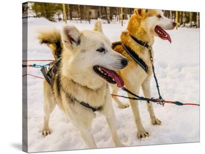 Husky sled dogs, Lapland, Finland--Stretched Canvas Print