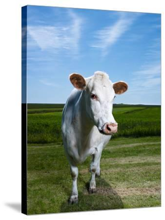 White Dairy Cow, Iceland--Stretched Canvas Print