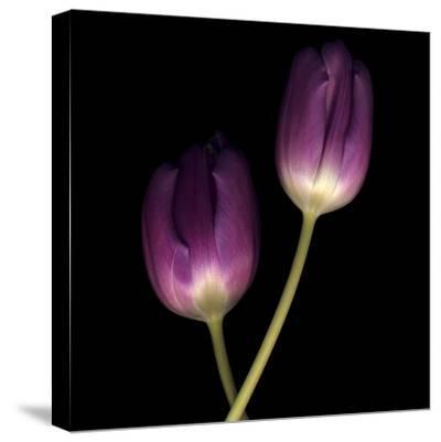 Purple Tulips on Black 02-Tom Quartermaine-Stretched Canvas Print
