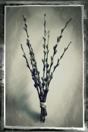 Pussy Willow 04-Tom Quartermaine-Stretched Canvas Print