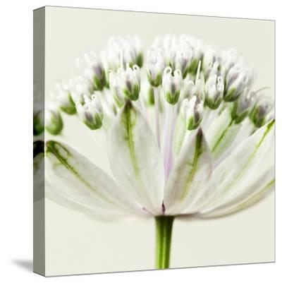 Interesting Astrantia Flower-Tom Quartermaine-Stretched Canvas Print