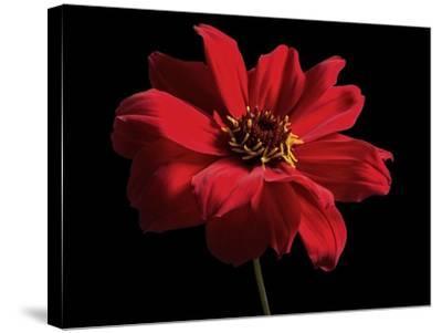 Red Flower on Black 01-Tom Quartermaine-Stretched Canvas Print