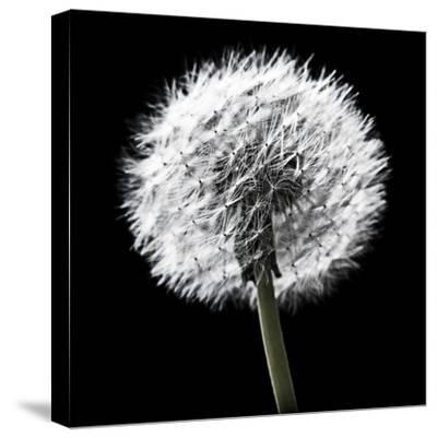 BW Dandelion on Black 02-Tom Quartermaine-Stretched Canvas Print