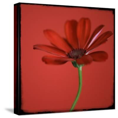 Red Gerbera on Red 07-Tom Quartermaine-Stretched Canvas Print