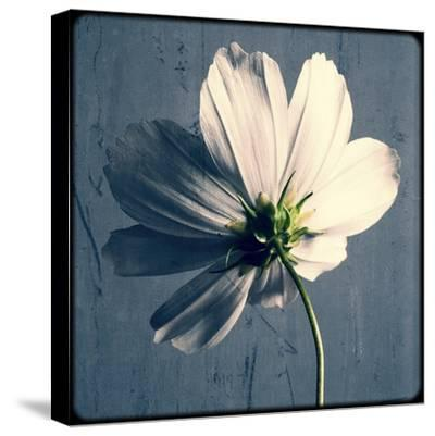 Reverse Of Cosmos On Blue-Tom Quartermaine-Stretched Canvas Print