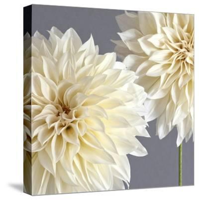 2 Cream Dahlias on Gray-Tom Quartermaine-Stretched Canvas Print
