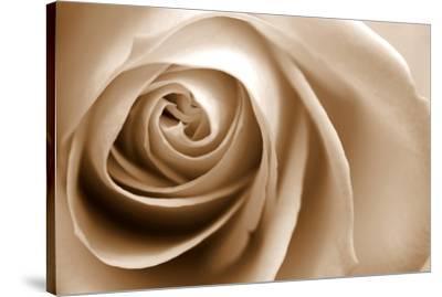 Sepia Rose 01-Tom Quartermaine-Stretched Canvas Print