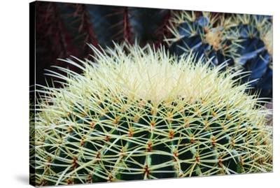 The Barrel Cactus-Anthony Paladino-Stretched Canvas Print
