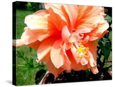 Double Hibiscus-Audrey-Stretched Canvas Print
