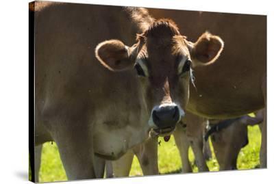 Jersey Cow-Brenda Petrella Photography LLC-Stretched Canvas Print