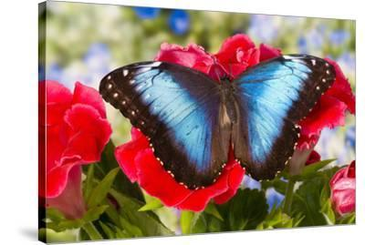 Tropical Butterfly the Blue Morpho-Darrell Gulin-Stretched Canvas Print