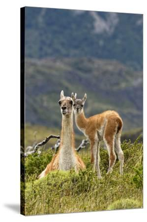 Guanaco and baby, Andes Mountain, Torres del Paine National Park, Chile. Patagonia-Adam Jones-Stretched Canvas Print