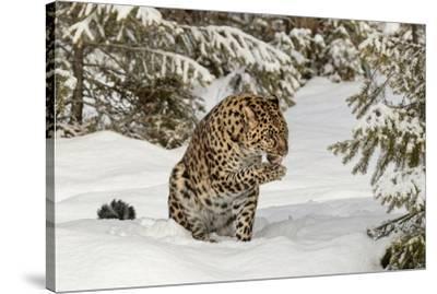 Amur Leopard in winter.-Adam Jones-Stretched Canvas Print